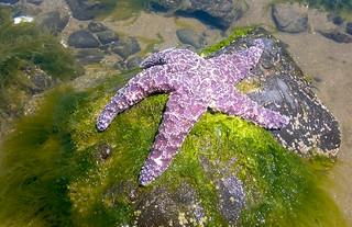 Tidal Pools - Sea Stars