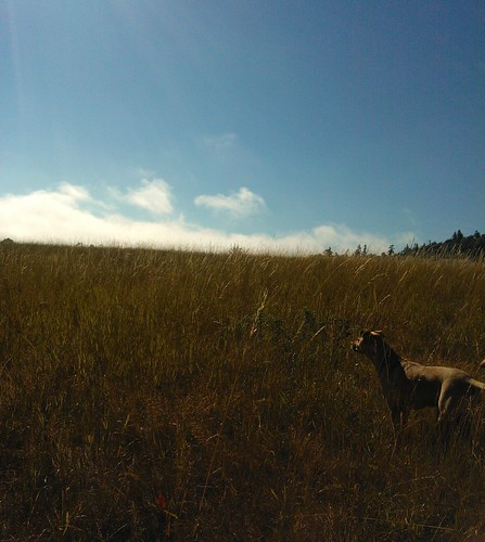 Rosie on the grassy hillside, summer, blue sky with a few clouds, Sequim, Washington, USA by Wonderlane