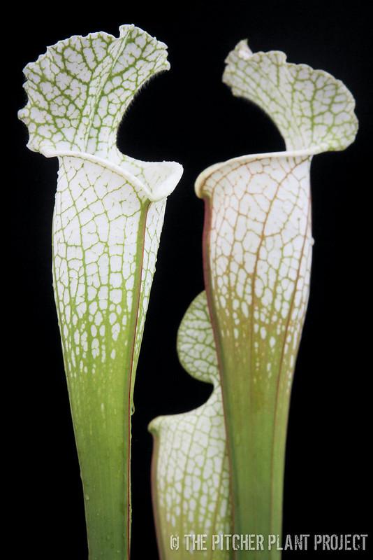 Sarracenia leucophylla HCW A-2Sarracenia leucophylla 'Hurricane Creek White' - Clone A