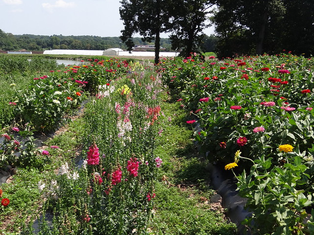 Field of flowers at Abma's