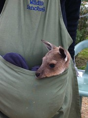 Wildlife Sanctuary Baby Roo