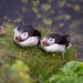 Puffins perch precariously by antgirl