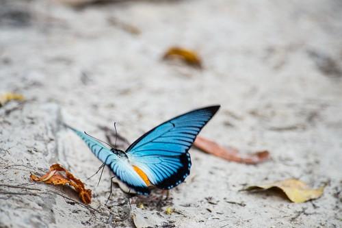 Giant Blue Swallowtail-P.zalmoxis