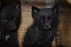 dog breed, animal, puppy, german spitz klein, dog, pet, german spitz, german spitz mittel, carnivoran, schipperke,