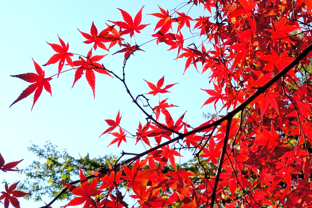 Autumn Leaves of Maple / 紅葉