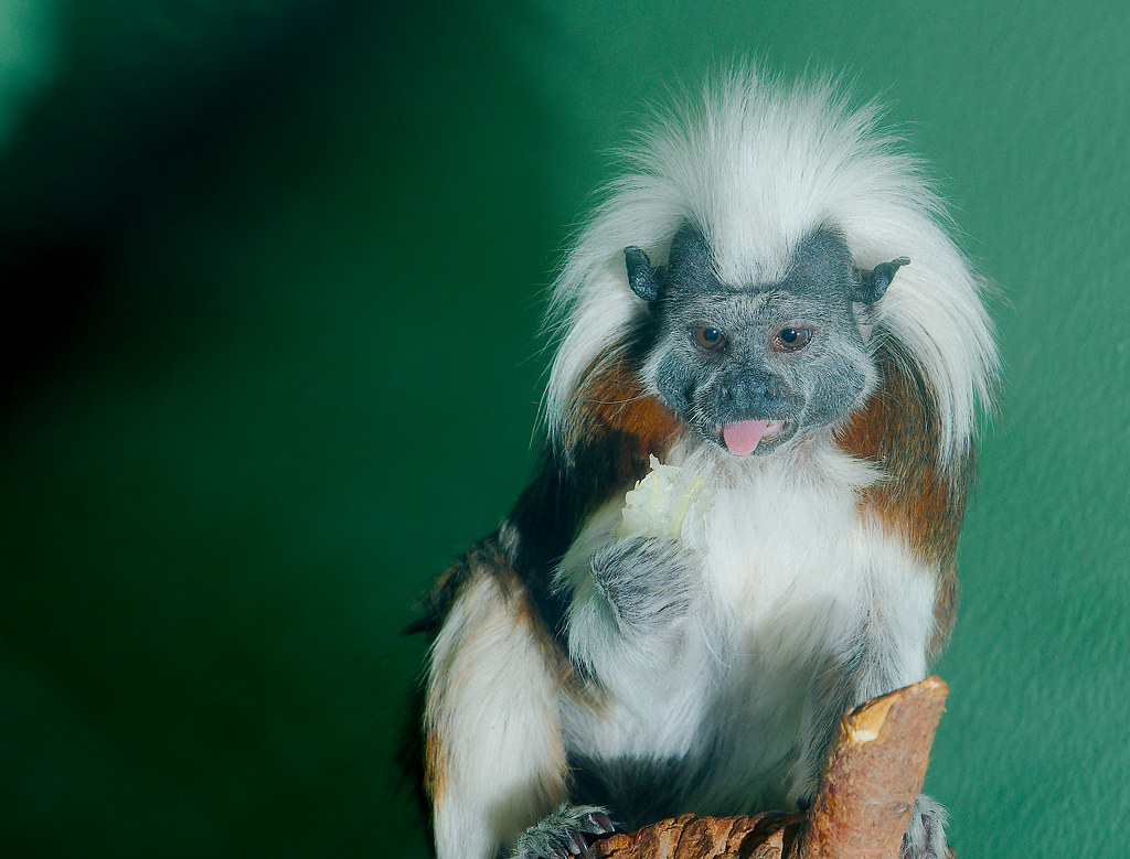 Cotton-top Tamarin (Saguinus oedipus)_1
