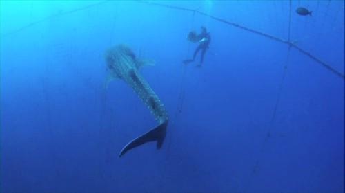 日本沖繩遊客與鯨鯊共游,翻拍自EAWST影片