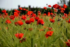 annual plant, prairie, flower, field, grass, red, nature, wildflower, flora, coquelicot, meadow, grassland, petal, poppy,