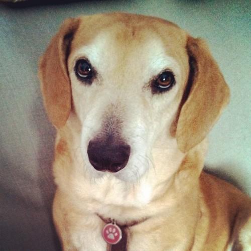 Sophie says Good Morning! #instadog #dogstagram #Rescued #houndmix #adoptdontshop #ilovemydogs #dogs