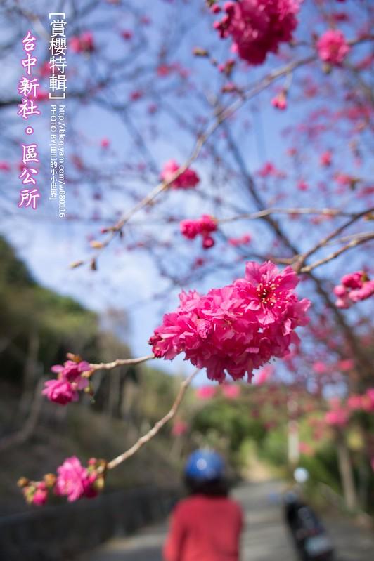 2014.Feb 新社櫻花