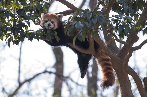 あざといレッサーパンダ