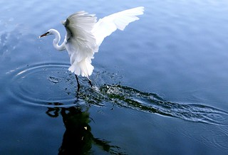 Egret: GREAT WHITE  #9
