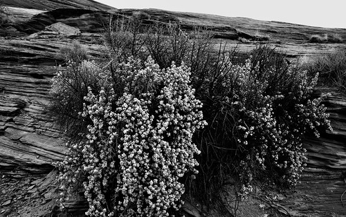 Desert Wildflowers (Black & White)