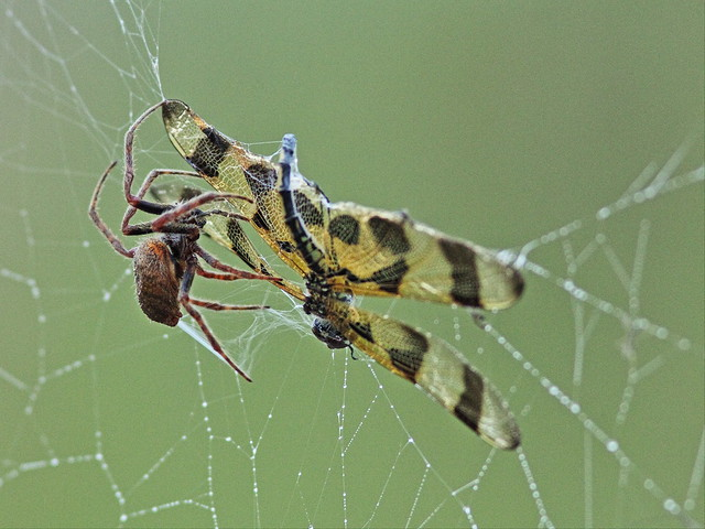 Dragonfly and spider 04-20140323