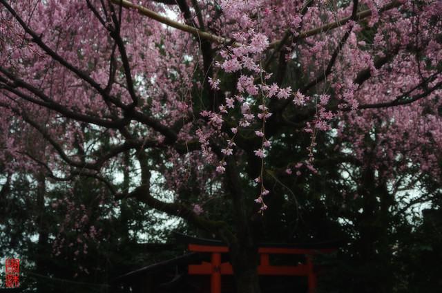 「桜の空間」 水火天満宮 - 京都