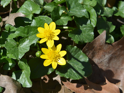 First Buttercup of Spring