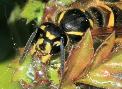 Wasp 28702xx