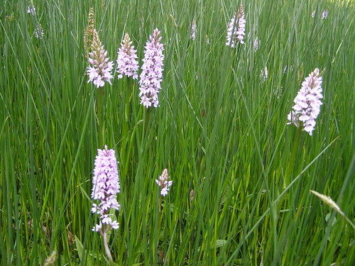 Common Spotted Orchids