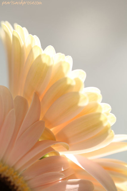 gerbera_upward_web