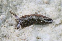 チャマダラミドリガイ Thuridilla flavomaculata
