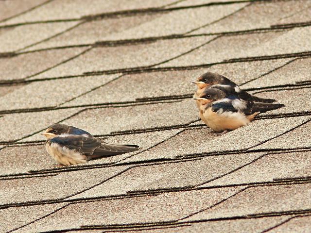 Barn Swallow fledglings 2-20150708