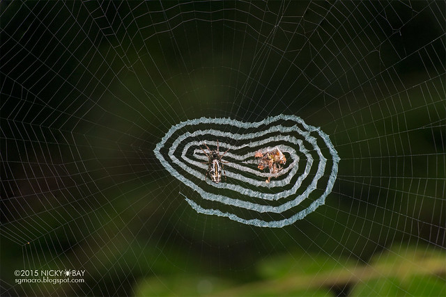 Trashline orb web spider (Cyclosa sp.) - DSC_4161