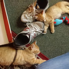 My kiddo got new shoes today, but the kittens think the old ones are just fine! #kittens