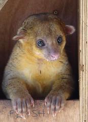 possum(0.0), dormouse(0.0), animal(1.0), marsupial(1.0), mammal(1.0), fauna(1.0), kinkajou(1.0), whiskers(1.0),