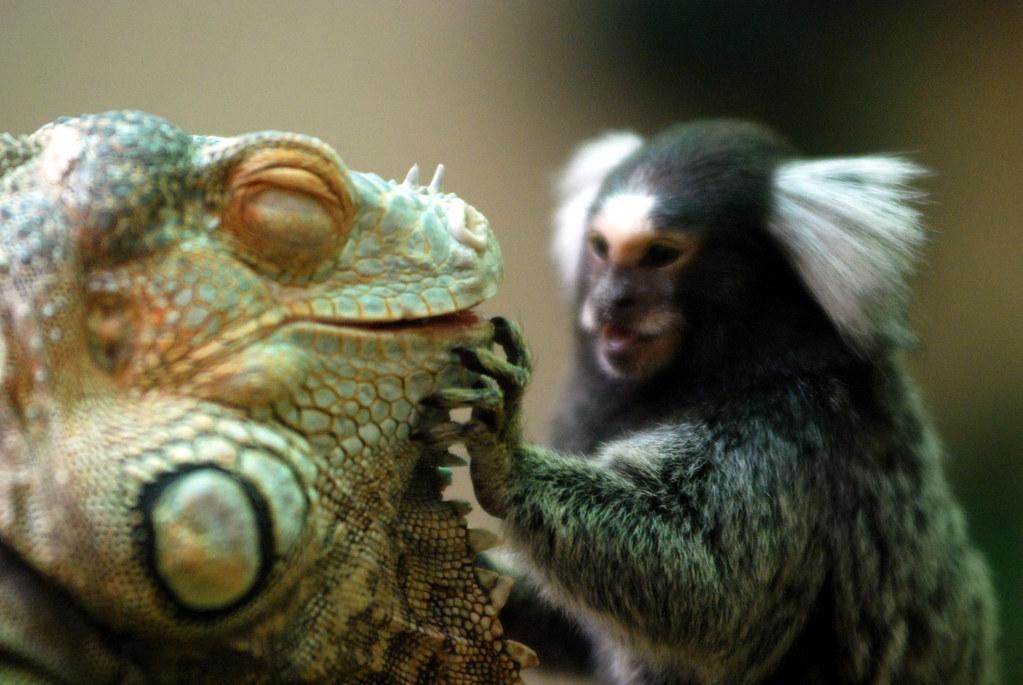 green iguana marmoset