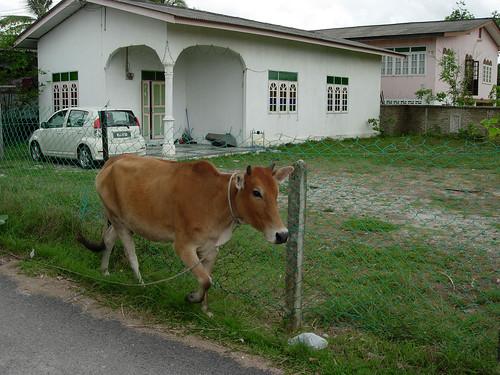 Cow on the loose, Terengganu