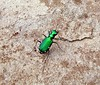 Six Spotted Tiger Beetle by Sea Moon