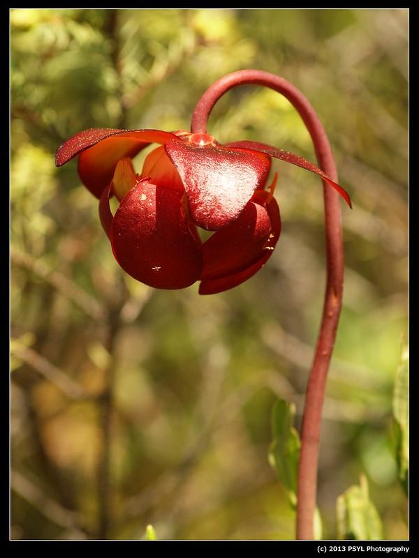 Pitcher-plant (Sarracenia purpurea)