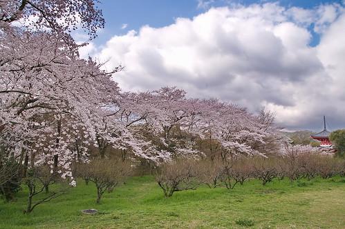 【写真】2013 桜 : 大覚寺/2020-09-15/IMGP9431