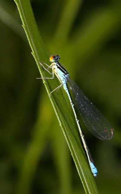 Rainbow Bluet (20130702-0215-60d1)