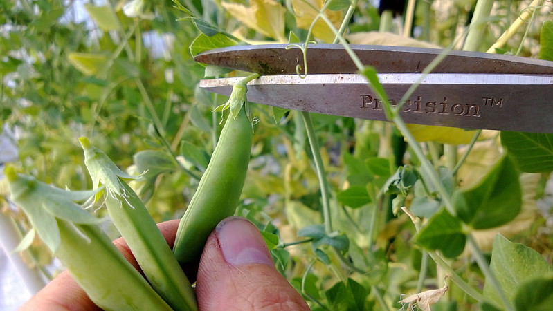 Sugar Snap Peas 1