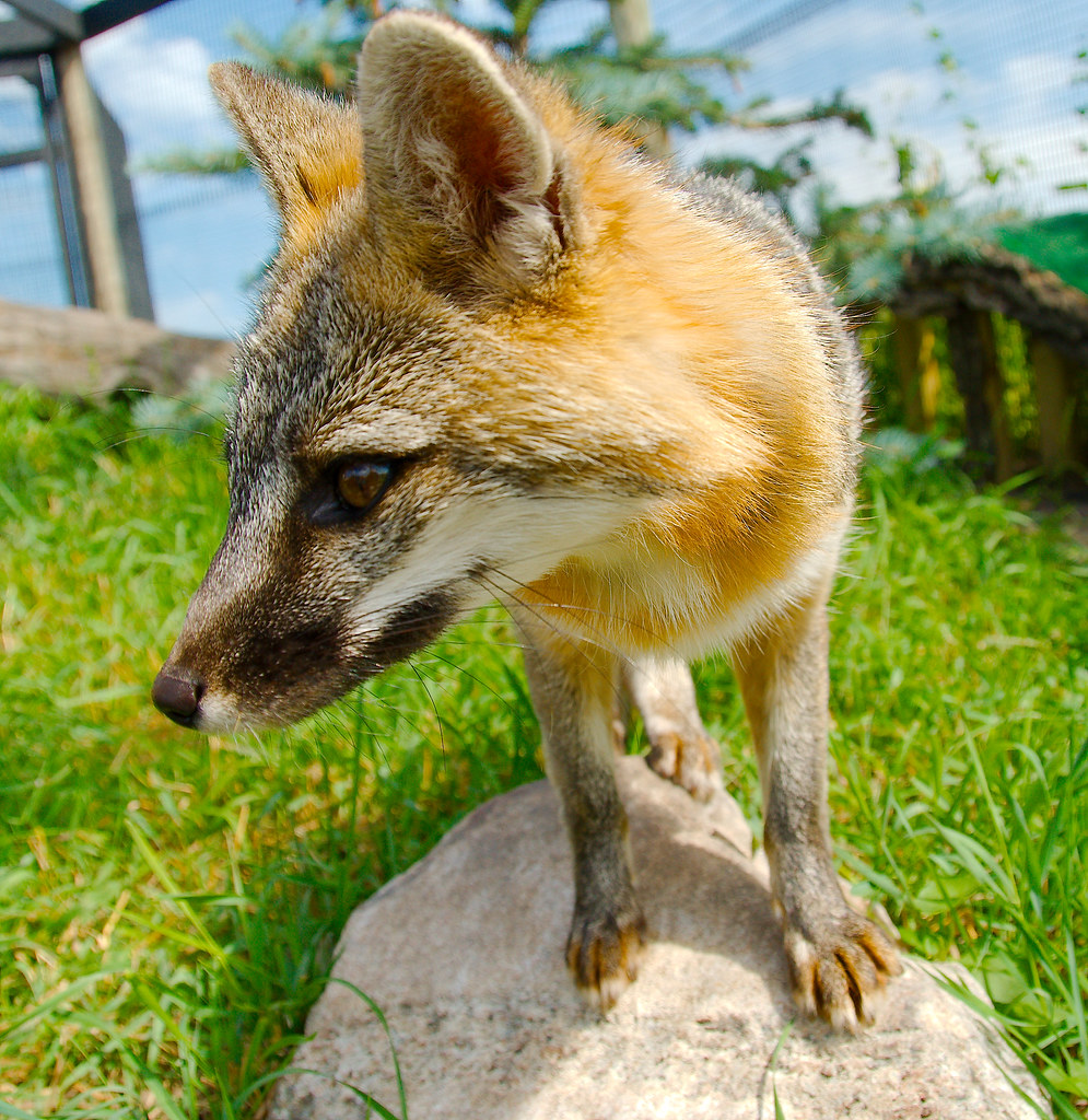 Gray Fox (Urocyon cinereoargenteus)_21