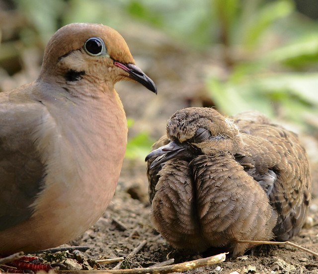 Mother And Baby Mourning Dove Flickr Photo Sharing