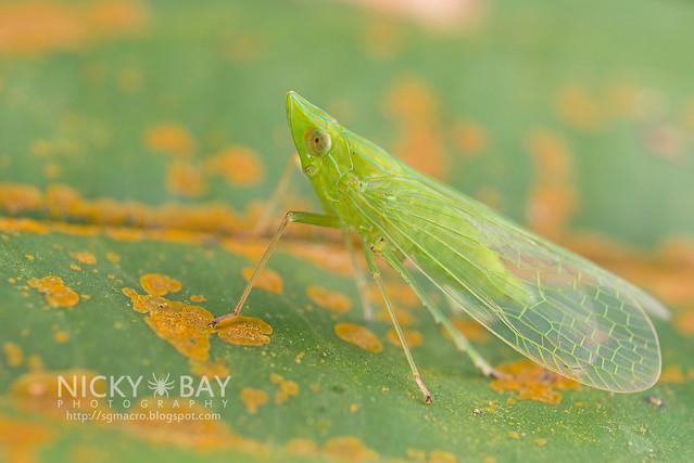 Planthopper (Fulgoromorpha) - DSC_1506