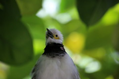 BLACK COLLARED STARLING (Sturnus nigricollis)