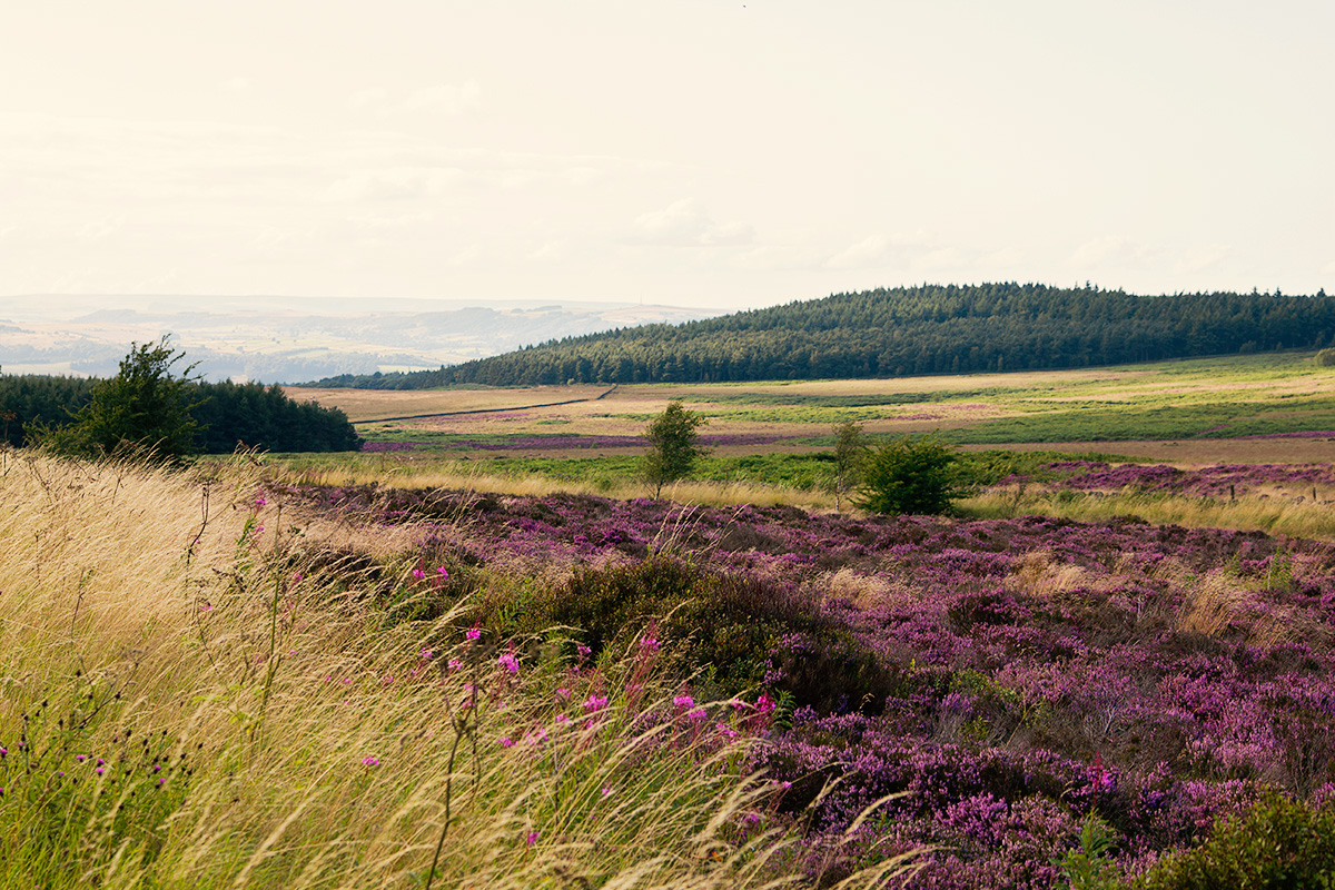 Heather - Derbyshire Moors
