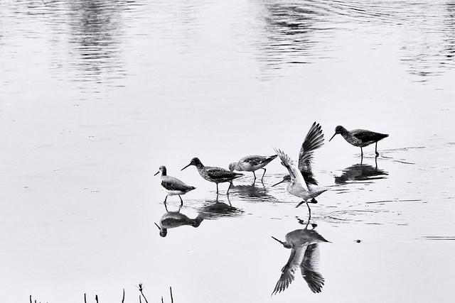 小鸟戏水 little birds gamboling in the water