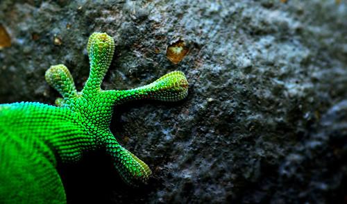 Foot (Madagascar day gecko)