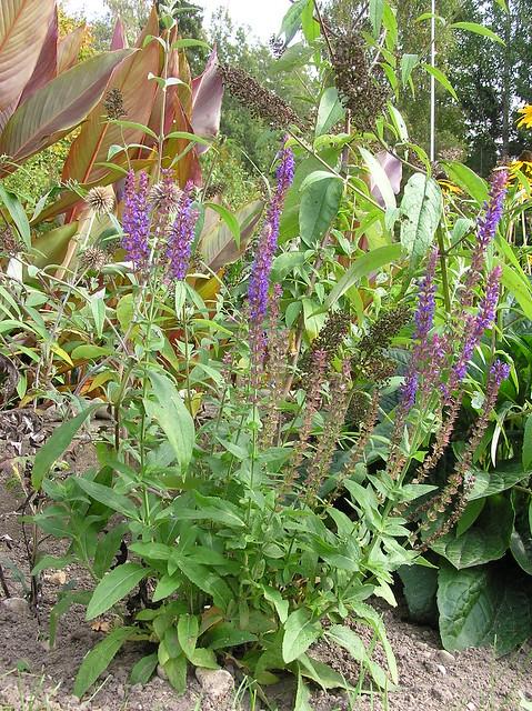 Salvia nemorosa 'Ostfiresland'