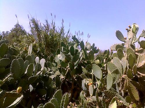 Opuntia ficus indica Triffa