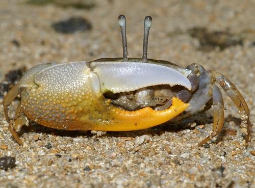 賈瑟琳招潮 (Uca jocelynae),是首次由東方學者所發表的新種招潮蟹,廣泛分布於西太平洋一帶。(圖片攝影:施習德)