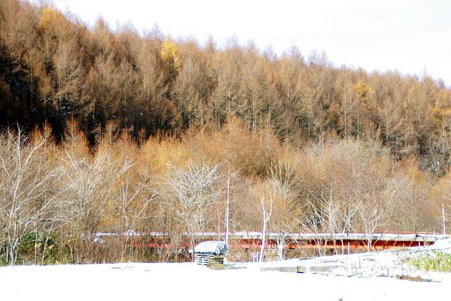 初冬のカラ松1