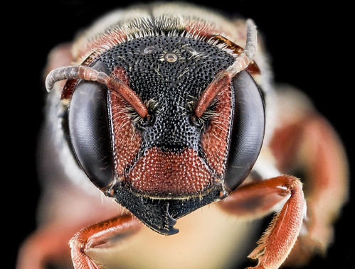 Dianthidium floridiense, Female, Face, Florida, Broward County_2013-11-15-18.00.56 ZS PMax