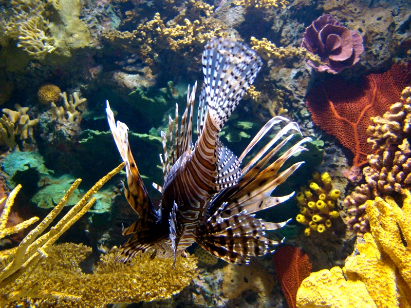 Ripley's Aquarium Turkeyfish