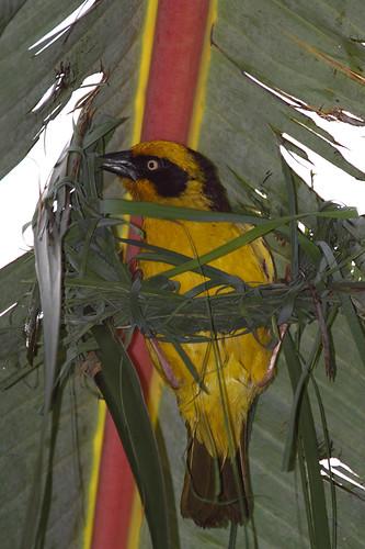 africa bird birds kenya african weaver kenyan weaverbird africanwildlife baglafechtweaver kenyanbirds