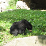 Andean bear smells something